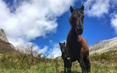 Anciles pottoka horses expand the herd with four calves